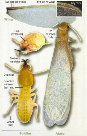 Formosan Subterranean Termite alate and soldier